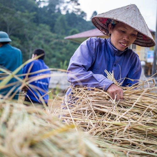 Recolte du riz, Hoang Su Phi, Province de Ha Giang, Vietnam