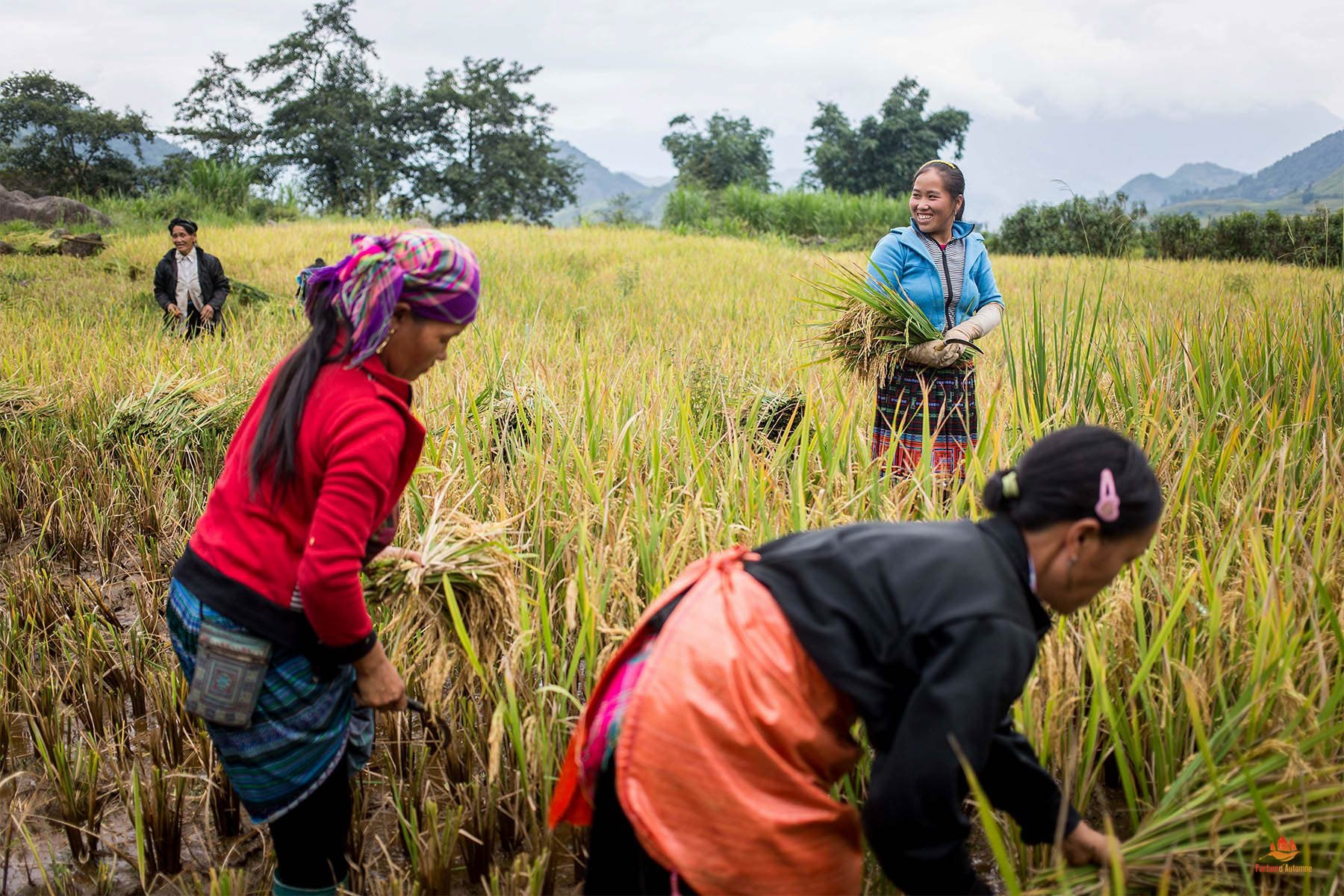 Femmes ramassant le riz dans la région de Sapa, Vietnam