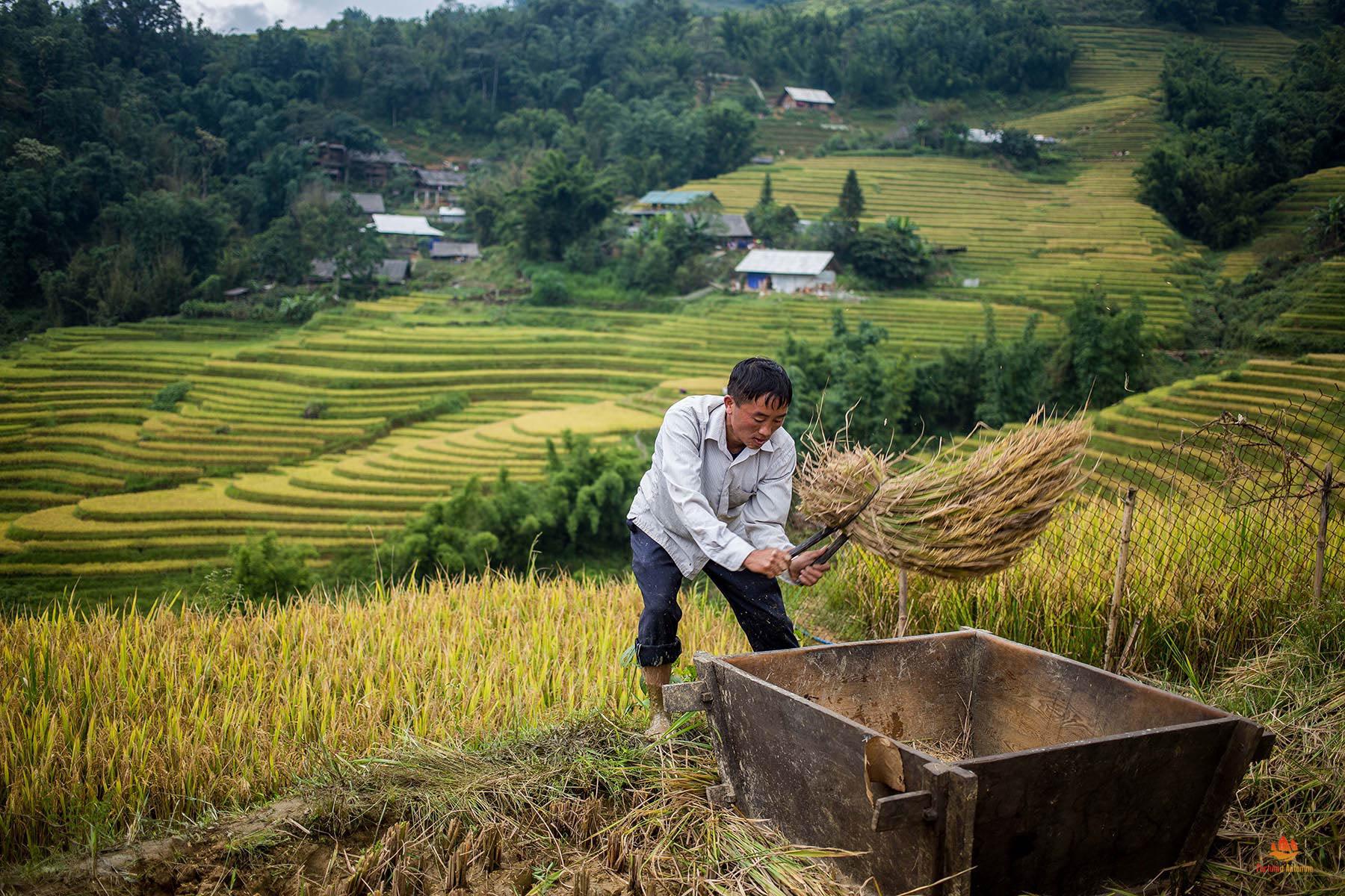 Villageois dans les environs de Sapa récoltant le riz de manière non mécanisée, Vietnam
